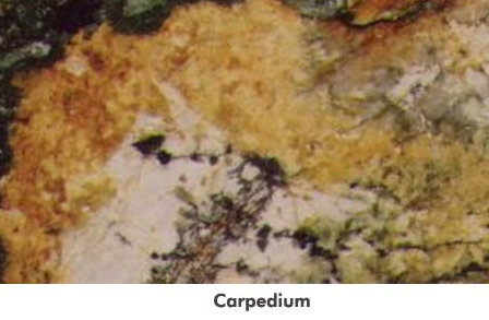 Carpedium